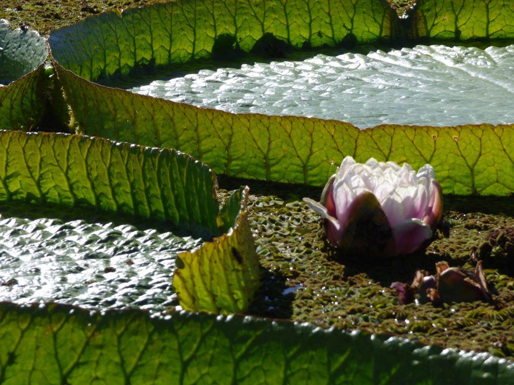 primer plano flor irupe